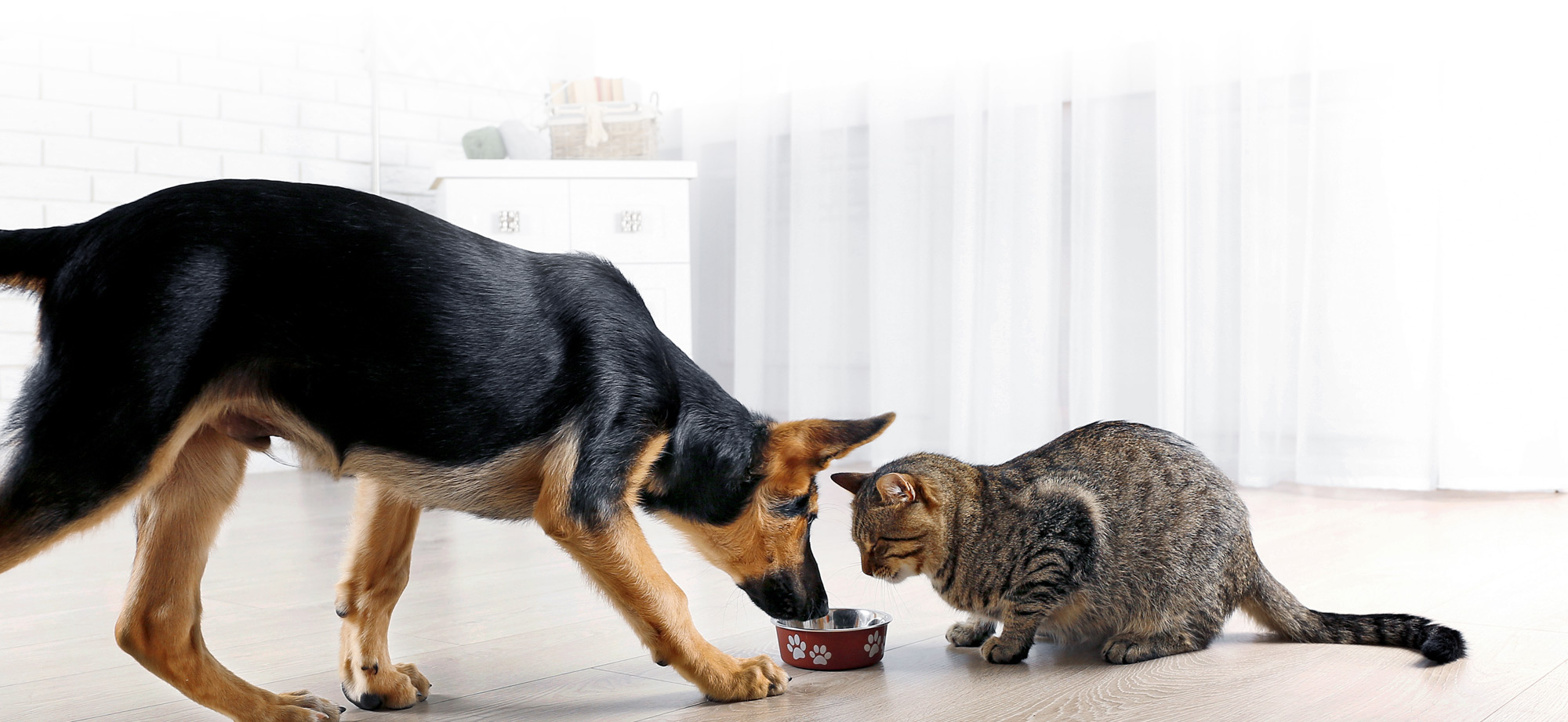 Dog and Cat Sharing Food
